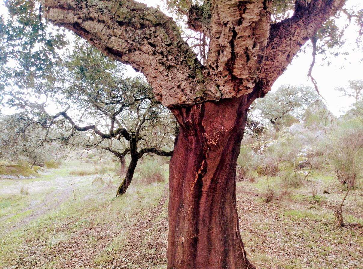 Alcornoques-en-Canchales